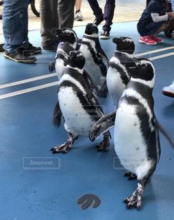 ペンギンのお散歩の写真・画像素材[1993869]
