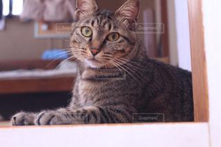 カメラを見ている猫の写真・画像素材[2368273]