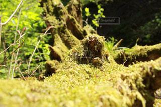 日当たりのいい苔の写真・画像素材[1963957]