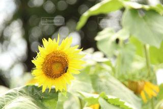 向日葵と虫の写真・画像素材[1963963]