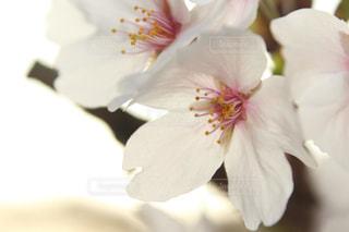 桜の花弁の写真・画像素材[1963995]