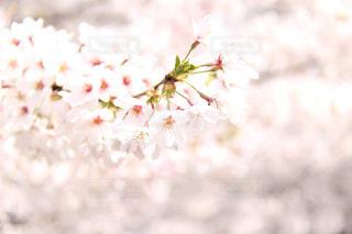 満開の桜の写真・画像素材[1964000]