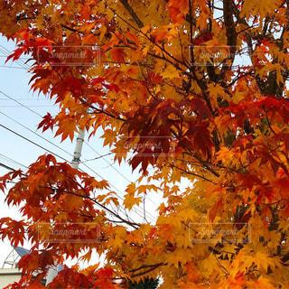近所の紅葉の写真・画像素材[1967734]