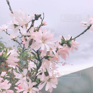 大きなピンクの花の写真・画像素材[1891589]
