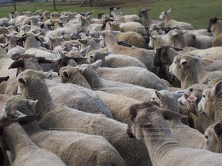観衆の前で羊の群れの写真・画像素材[1895205]
