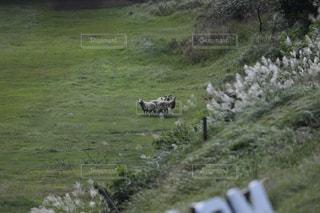 緑豊かな緑の草原に放牧牛の群れの写真・画像素材[1895993]