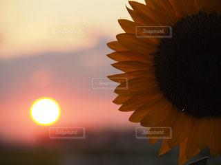 綺麗な夕日と一緒に撮れたひまわりの写真・画像素材[1895625]