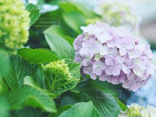 近くの河川敷の紫陽花の写真・画像素材[1895631]