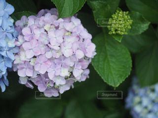 紫陽花の写真・画像素材[2156403]
