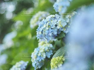 紫陽花の写真・画像素材[2183576]