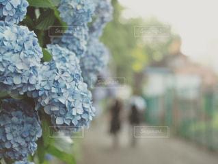紫陽花の写真・画像素材[2214534]