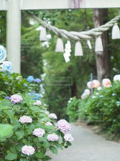 鳥居と紫陽花の写真・画像素材[2230006]