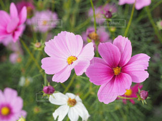 秋の花といえばコスモスが1番好きの写真・画像素材[2501816]
