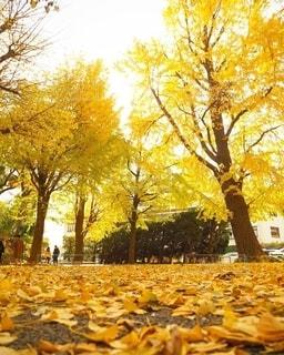 黄色い絨毯の写真・画像素材[2768940]