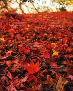 紅葉絨毯の写真・画像素材[2768944]