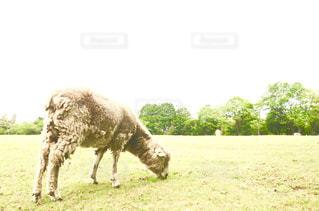 フィールド上の動物の写真・画像素材[1138753]