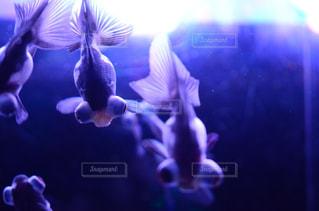 水面下を泳ぐ魚たちの写真・画像素材[1293196]