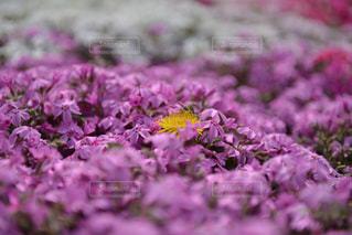 近くに紫の花のアップの写真・画像素材[1313913]