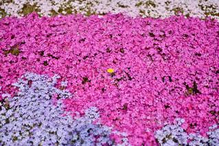 緑の葉を持つピンクの花の写真・画像素材[2442908]