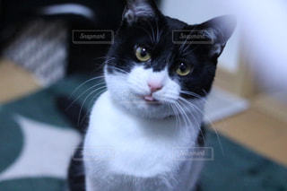 テーブルに座っている黒と白の猫の写真・画像素材[1895294]