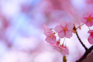 桜の写真・画像素材[370136]