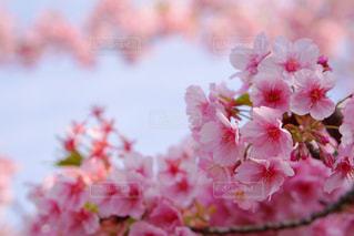 河津桜の写真・画像素材[370143]