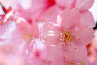 桜の写真・画像素材[370146]