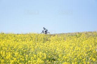 菜の花と自転車の写真・画像素材[1096815]