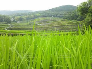 田植え時期の段々畑の写真・画像素材[2049258]