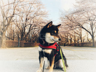 夕暮れ桜並木での黒柴の写真・画像素材[3045398]