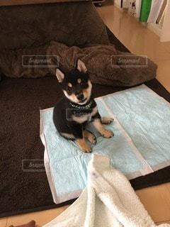 トイレトレーニング中の黒柴の子犬の写真・画像素材[3514140]