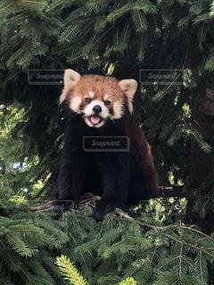 サファリパークのレッサーパンダの写真・画像素材[2419865]