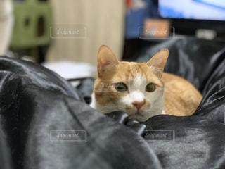横になって、カメラを見ている猫の写真・画像素材[1900573]