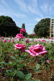 ピンクの花が庭園にの写真・画像素材[976449]