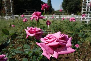 植物にピンクの花の写真・画像素材[976450]