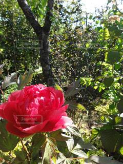 植物にピンクの花の写真・画像素材[979481]
