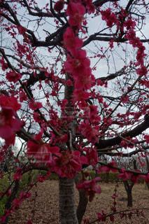 木の赤い花の写真・画像素材[980136]