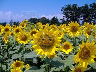 黄色の花の束の写真・画像素材[981177]