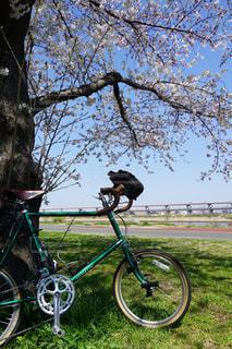 木にもたれて自転車の写真・画像素材[1084178]