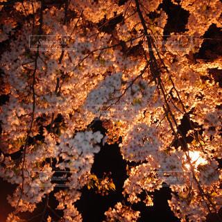 夜桜の写真・画像素材[1901318]
