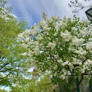 リラの花咲く頃の写真・画像素材[1914892]