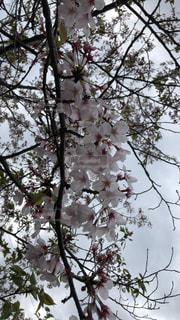 葉桜っす!の写真・画像素材[2015268]