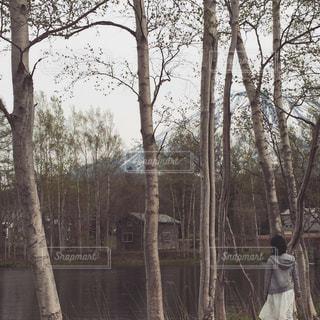 白樺の写真・画像素材[1994170]