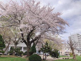 家の前の桜の木の写真・画像素材[2136922]