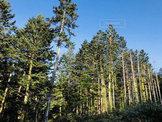 森の中の大きな木の写真・画像素材[2137003]