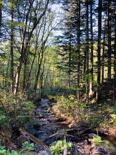 緑豊かな森の中の木の写真・画像素材[2137086]