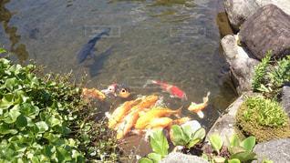鯉の写真・画像素材[999764]