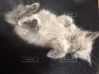 白い背景の上に横たわる猫の写真・画像素材[1908074]