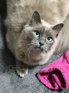 近くに毛布の上に横になっている猫のアップの写真・画像素材[1908328]