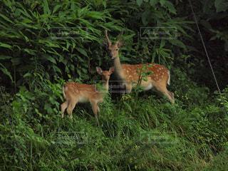 野生の鹿さんの写真・画像素材[1989936]